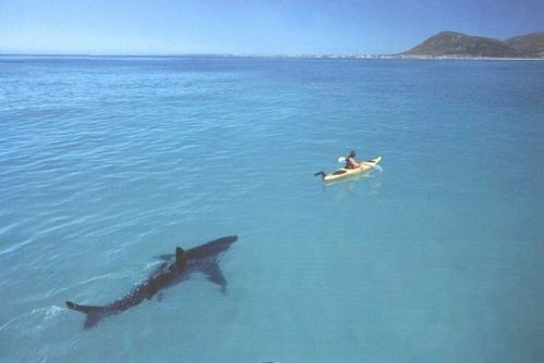 shark following a kayaker